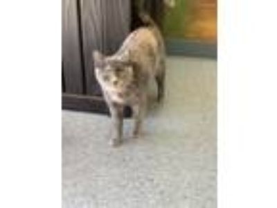 Adopt Paisley a Domestic Short Hair
