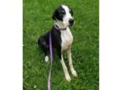 Adopt Addison a Black Great Dane / Mixed dog in Inver Grove Heights