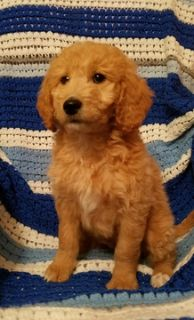 Goldendoodle-Poodle (Miniature) Mix PUPPY FOR SALE ADN-113304 - Cooper mini f1b goldendoodle