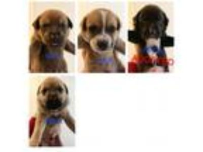 Adopt Lab/GSD Mix Boys a Tan/Yellow/Fawn Labrador Retriever / German Shepherd