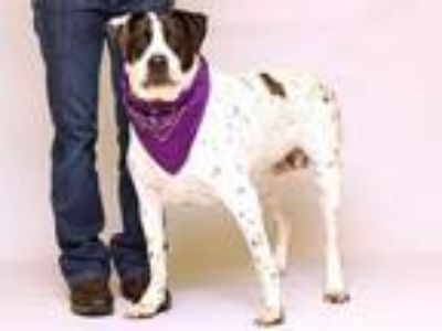 Adopt ROXY a White - with Black Catahoula Leopard Dog / Mixed dog in Sanford