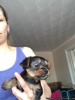 Yorkie puppy, Pure breed ,Yorkshire Terrier,Only1 Boy left