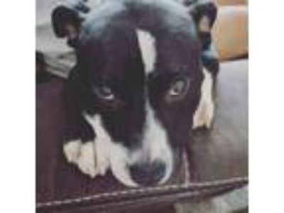 Adopt Crixus a Pit Bull Terrier