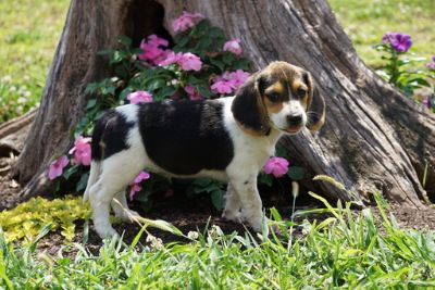 Beagle PUPPY FOR SALE ADN-95083 - Beagle For Sale Fredericktown OH Female Amber