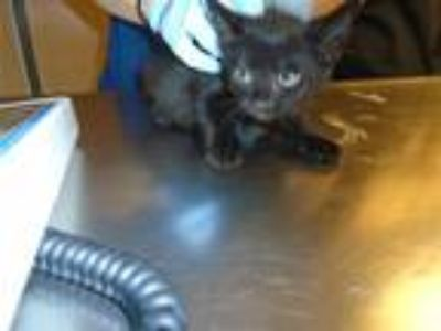 Adopt Michael Kitten a Domestic Shorthair / Mixed cat in Raleigh, NC (25510984)