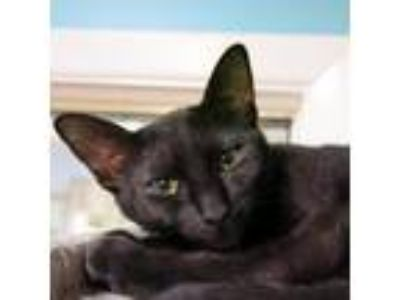 Adopt Lunaa a All Black Domestic Shorthair cat in Northbrook, IL (25068031)