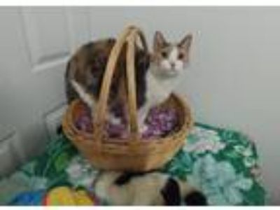 Adopt Callie a Orange or Red (Mostly) Domestic Shorthair / Mixed cat in Penndel