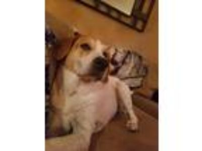 Adopt Ellie a Tan/Yellow/Fawn - with White Labrador Retriever / Mixed dog in