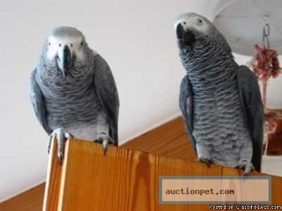 A Pair of Talking African Grey Parrots