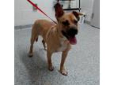 Adopt Toby a Tan/Yellow/Fawn Shepherd (Unknown Type) / Pit Bull Terrier dog in