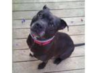Adopt Juliet a Black Pit Bull Terrier / Boxer / Mixed dog in Huntington