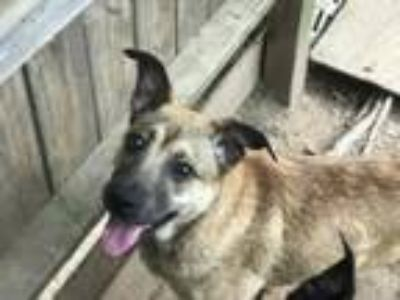 Adopt Caddy a Tan/Yellow/Fawn - with Black Shepherd (Unknown Type) / Mixed dog