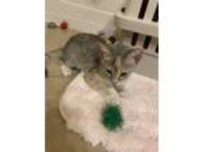 Adopt Kitten a Calico or Dilute Calico Domestic Shorthair cat in Kissimmee