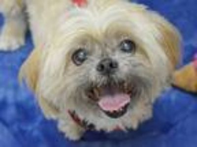 Adopt Sammy a Lhasa Apso / Mixed dog in Portland, OR (25250783)