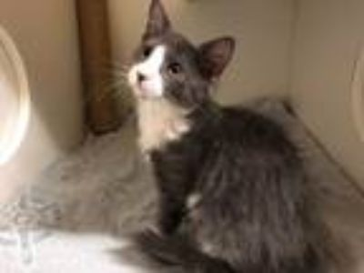 Adopt Grayson (Available 6/15/19) a Gray or Blue (Mostly) Domestic Mediumhair /