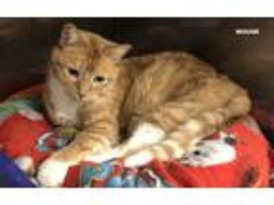 Adopt MOUSE a Orange or Red Domestic Shorthair (short coat) cat in Hibbing