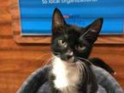 Adopt ELLIOT a All Black Domestic Shorthair / Mixed (short coat) cat in West