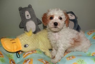 Maltipoo PUPPY FOR SALE ADN-97169 - Malti poo female for sale
