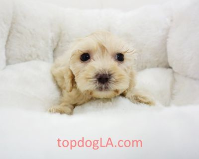 Cockapoo Puppy - Female – Nana ($1,299)