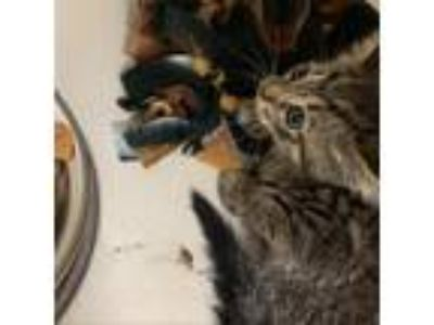 Adopt Cleo a Brown or Chocolate Domestic Shorthair cat in League City