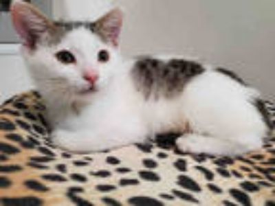 Adopt AMBER LYNN a White (Mostly) Domestic Shorthair / Mixed (short coat) cat in