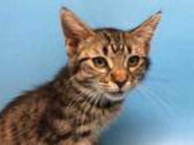 Adopt Smash a Brown or Chocolate Domestic Shorthair / Mixed cat in Golden