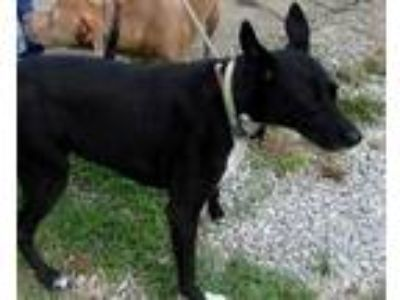 Adopt kelley a Black Shepherd (Unknown Type) / Mixed dog in Pickens