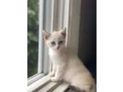 Adopt Margot a Cream or Ivory (Mostly) Siamese (short coat) cat in Long Beach