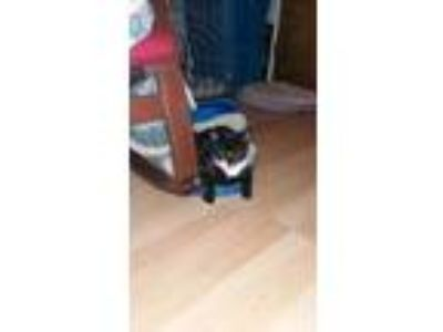 Adopt Figaro a Black & White or Tuxedo American Shorthair / Mixed cat in