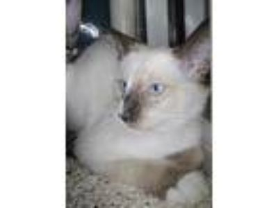 Adopt JULIETTE a White Siamese / Domestic Shorthair / Mixed cat in Houston