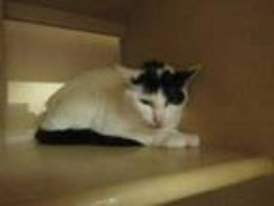 Adopt Little Kitty a White Domestic Shorthair / Domestic Shorthair / Mixed cat