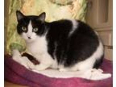 Adopt OREO a White (Mostly) Domestic Shorthair / Mixed (short coat) cat in