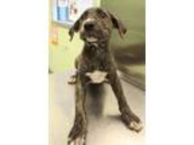 Adopt Badger a Pit Bull Terrier, Hound