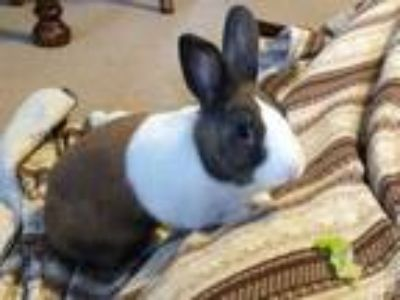 Adopt Oz and Izzy a Chocolate Dutch / Mixed (short coat) rabbit in Waynesboro