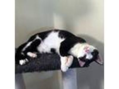 Adopt Alto a Black & White or Tuxedo Domestic Shorthair / Mixed cat in Garner