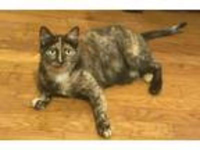 Adopt GG a Domestic Short Hair