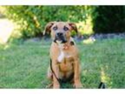 Adopt Sister a Pit Bull Terrier