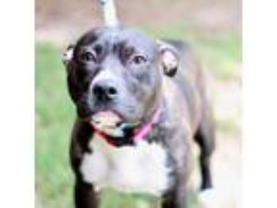Adopt Kiana a Brown/Chocolate American Pit Bull Terrier / Mixed dog in