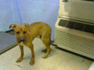 Adopt WYNONA a Brown/Chocolate - with Black German Shepherd Dog / Mixed dog in