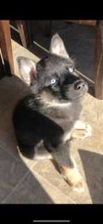 German Shepherd Dog-Siberian Husky Mix PUPPY FOR SALE ADN-108355 - Female german shepherd siberian husky mix blue eye