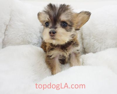Yorkiepoo Puppy - Male – Ray ($1,499) Tcup