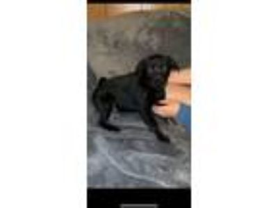 Adopt Stevie a Labrador Retriever, German Shepherd Dog