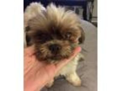 Adopt Bebe a Brown/Chocolate - with White Shih Tzu / Mixed dog in Sherman Oaks