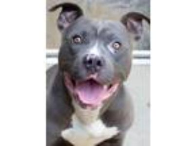 Adopt Dallas a Pit Bull Terrier, Mixed Breed
