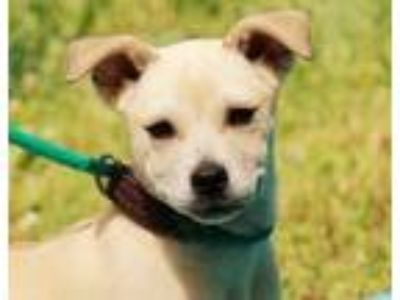 Adopt Alvin B a Yellow Labrador Retriever