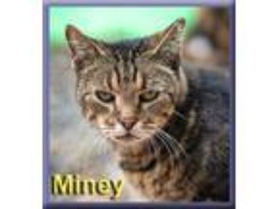Adopt Miney a Brown Tabby Domestic Shorthair (short coat) cat in Aldie