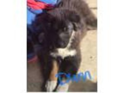 Adopt Dunn a Border Collie