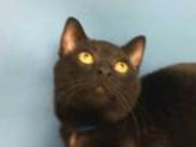 Adopt Pete a All Black Domestic Shorthair / Mixed cat in Golden Valley