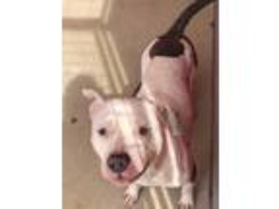 Adopt Horse a Pit Bull Terrier / Mixed dog in Angola, IN (25581959)