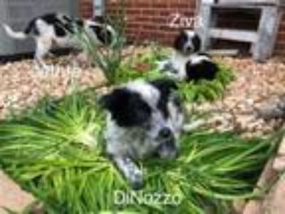 Adopt Jethro a Border Collie, Cattle Dog